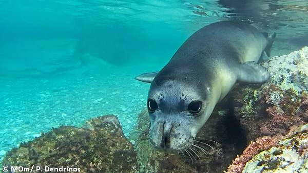 MOm Mediterranean monk seal